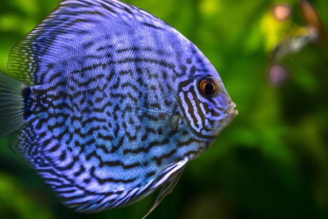 Animal, Blue, Blurred Background, Closeup, Fish