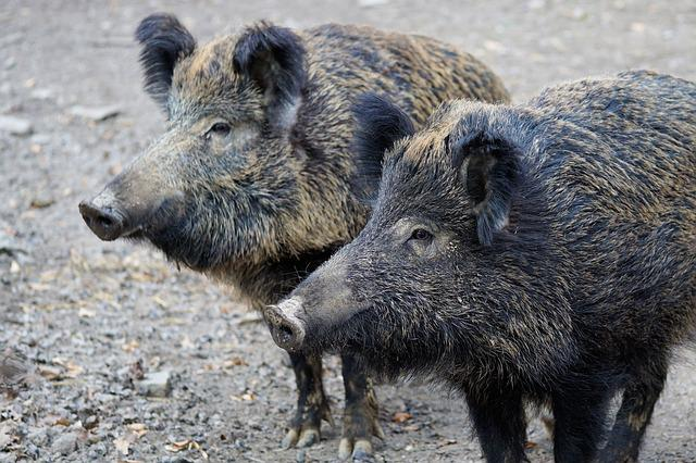 Boar, Pig, Sow, Nature, Animal, Park, Zoo