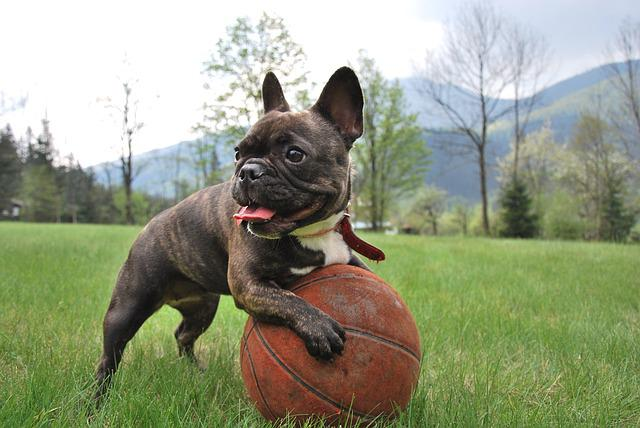 Puppy, French Bulldog, Nature, Animal, Dog, Pet, Brown