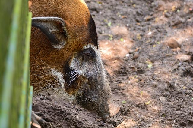 Brush Ear Pig, Portrait, Animal, Zoo, Nature, Wild