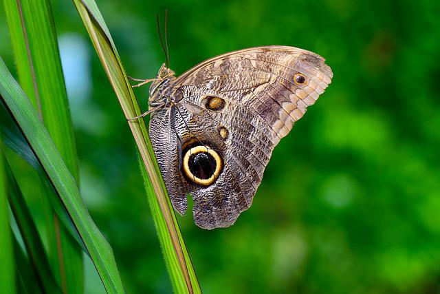 Owl Butterfly, Butterfly, Insect, Animal