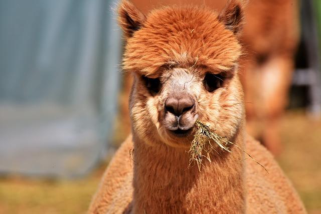 Alpaca, Camel, Furry, Animal, Wool, Livestock, Lama