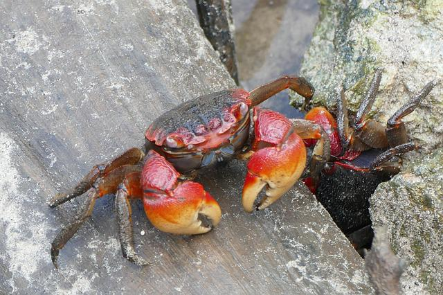 Cancer, Crab, Animal, Shellfish, Animals, Pliers