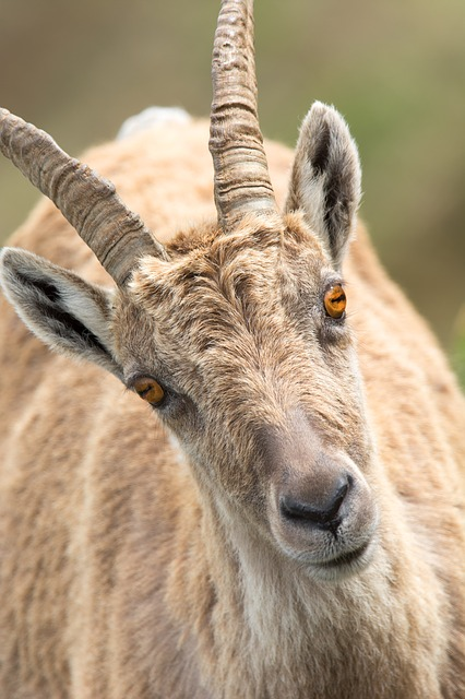 Stone Goat, Capricorn, Portrait, Alpine, Animal, Summer