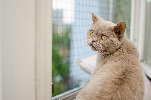 Cat, Animal, Domestic Cat, Cat Purebred, British Cat