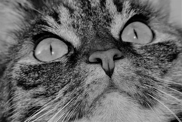 Cat, Pet, Animal, Tiger Cat, Domestic Cat, Cat's Eyes
