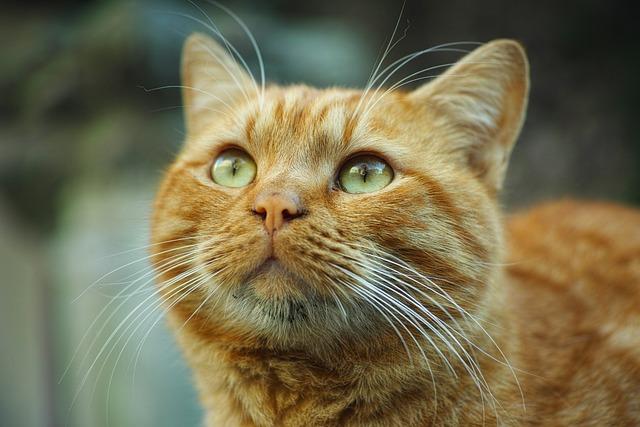 Cat, Animal, Yellow, Cute, Animal Portrait, Pets