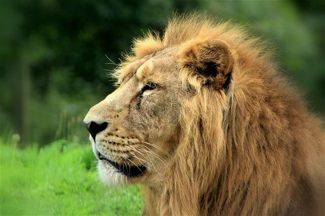 Wildlife, Mammal, Animal, Cat, Lion, Zoo