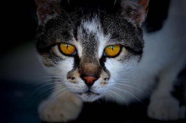 Cat, Cute, Portrait, Mammal, Pet, Animal, Kitten, Eye