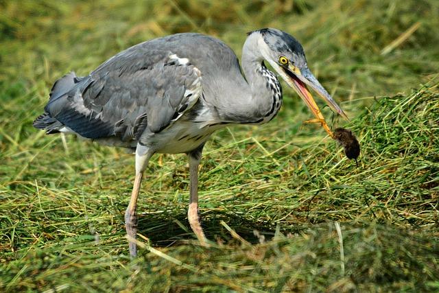 Heron, Wading Bird, Animal, Predator, Catch, Prey