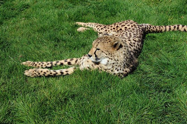 Cheetah, Cat, Animal, Nature, Wildlife, Mammal, Africa