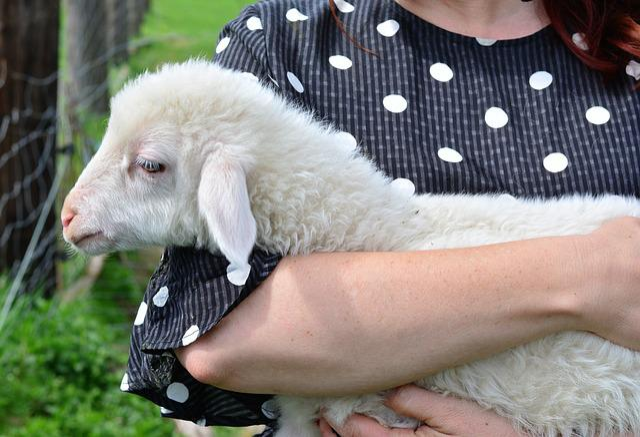 Sheep, Lamb, Young Animal, Animal Child, Human, A, Cute