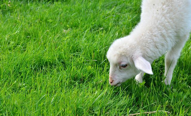 Sheep, Schäfchen, Lamb, Young Animal, Animal Child