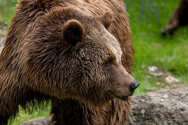 Animal, Zoo, Brown Bear, Close