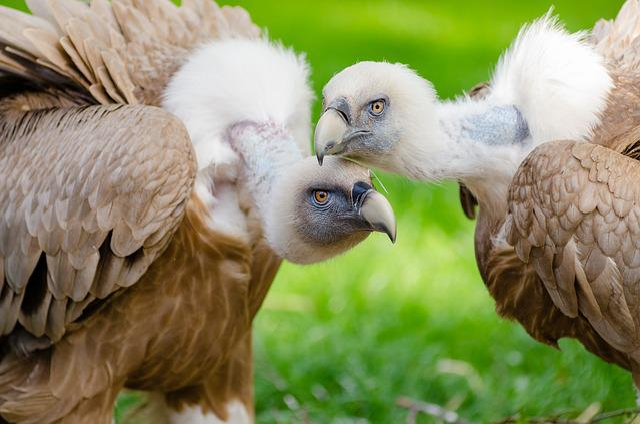 Animal, Vultures, Avian, Beaks, Birds, Blur, Close-up