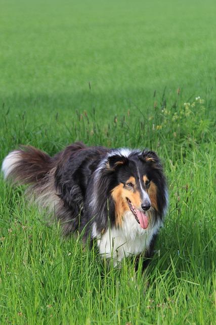 Dog, Colli, Pet, Animal, Medium, Snout, Hundesport