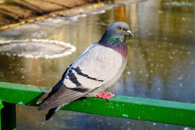 Pigeon, Rock Dove, Bird, Animal, Columbidae, Wildlife