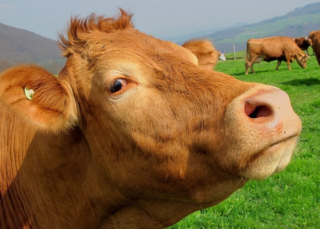 Brown, Cow, Mammal, Animal, Head, Meadow, Countryside