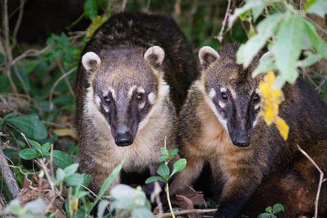 Coati, Mammal, Animal, Nature, Creature, Small, Wild