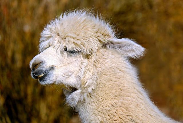 Alpaca, Animal, Creature, Wool, Fluffy, Alpaca Wool