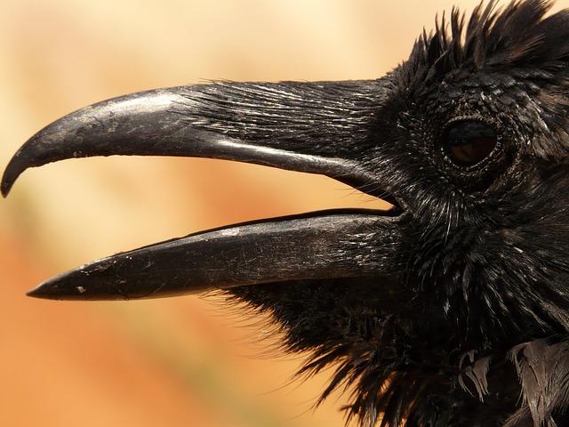 Animal, Bird, Beak, Bill, Raven, Crow, Black Bird