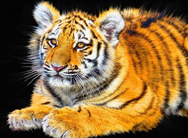 Tiger, Cub, Animal, Mammal, Predator, Wildlife, Wild