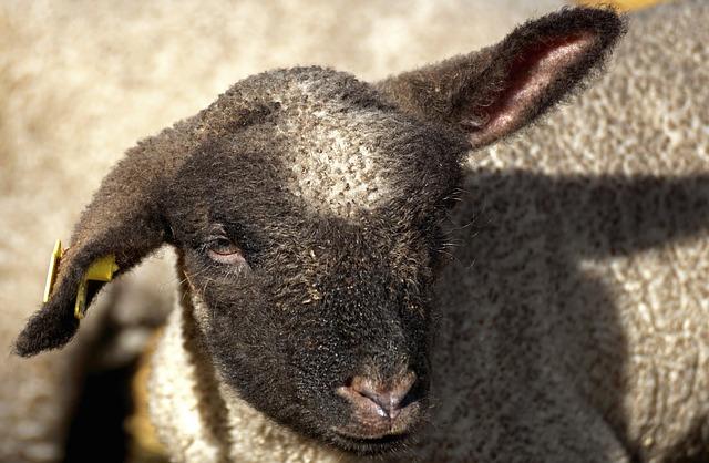 Lamb, Young Sheep, Sheep, Animal, Cute, Wool, Schäfchen