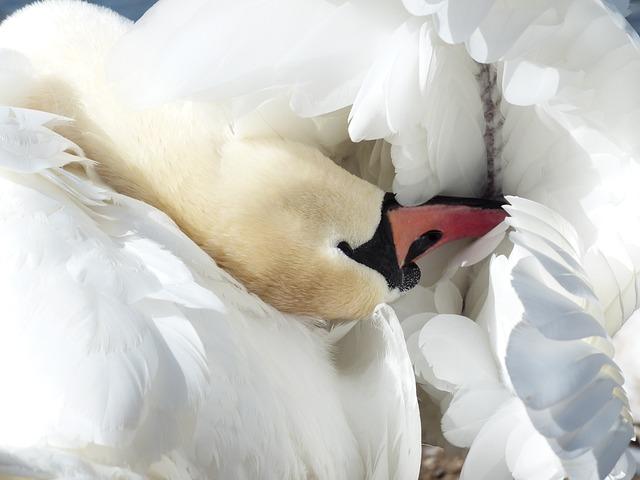 Mute Swan, Swan, Clean, Bird, Swim, Animal, Cygnus Olor