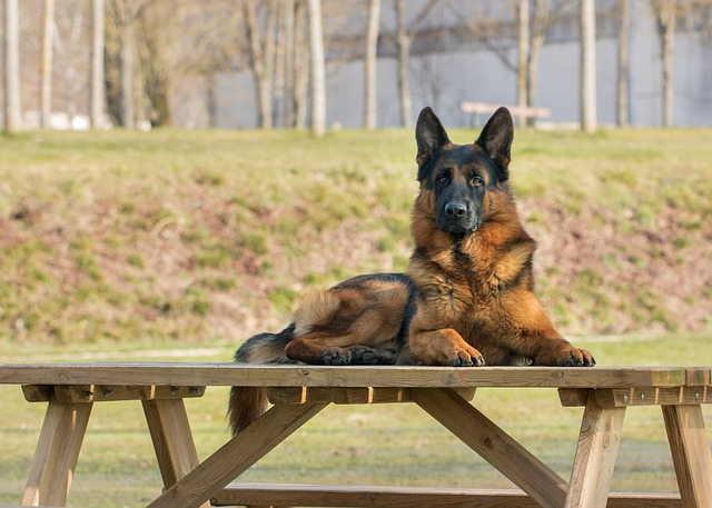 Dog, Outdoor, Canine, Mammal, Animal, Table