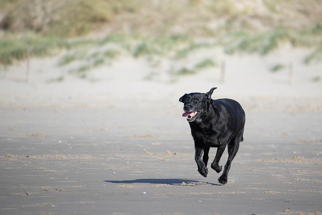 Labrador, Beach, Dunes, Racing, Dog, Sea, Animal, Pet
