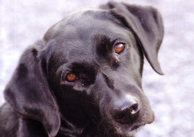 Labrador, Black, Dog, Animal, Pet, Cute, Canine