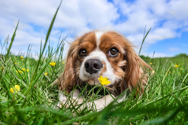 Dog, Pet, Animal, Cavalier, King, Charles, Spaniel