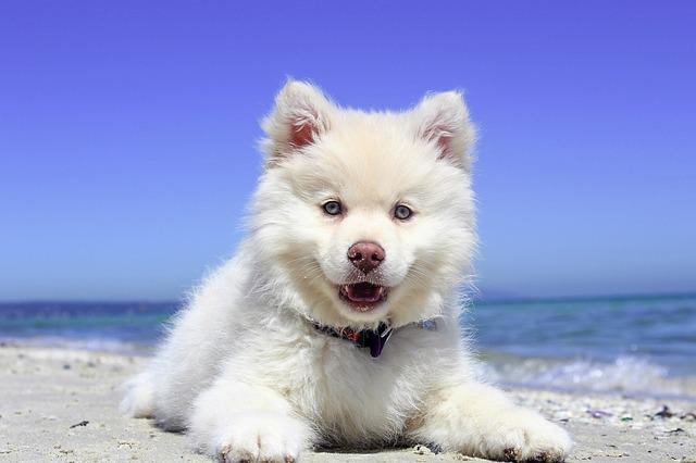 Beach, Puppy, Dog, Finnishlapphund, Animal, Summer