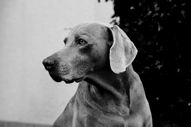 Dog, Weimaraner, Animal, Pet, Black And White