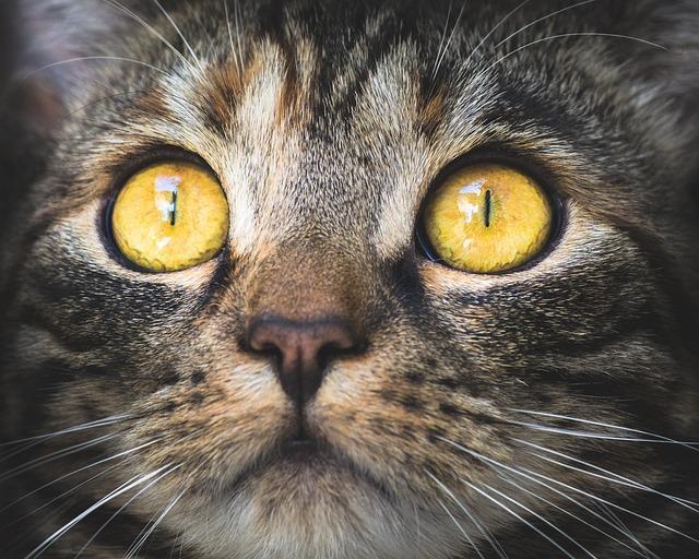 Cat, Portrait, Animal, Pet, Domestic Cat, Eyes, View