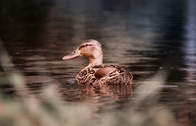 Duck, Water, Bird, Nature, Animal, Animal World