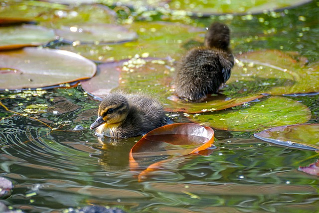Ducklings, Duck, Cute, Animal, Small, Fluffy