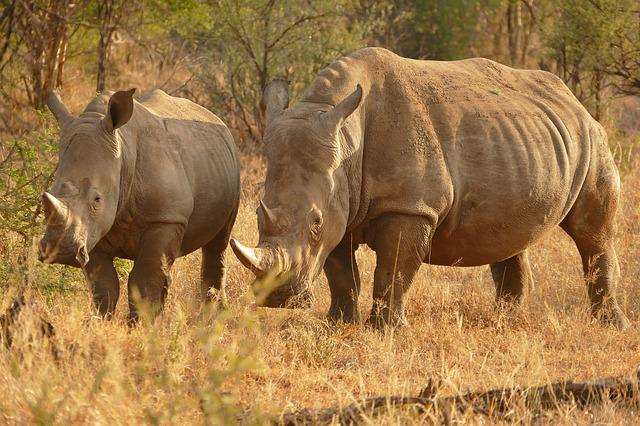 Africa, Rhino, Safari, Animal, Travel, Endangered