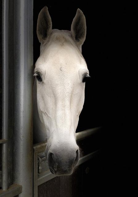 Horse, Portrait, White, Animal, Equine, Careful
