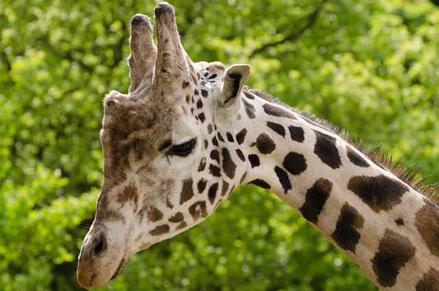 Giraffe, Animal, Zoo, Cute, Wild, Safari, Africa, Eye