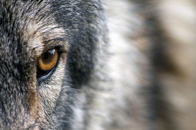 Wolf, Eye, Fur, Wild, Animal, Wildlife, Nature
