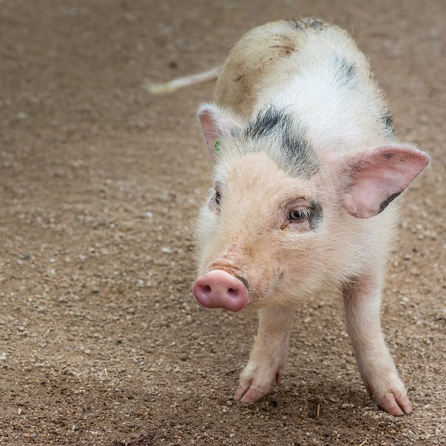 Nature, Animal, Pig, Cute, Piglet, Small, Eyes, Ears