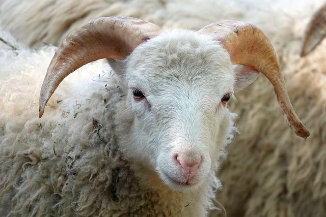 Sheep, Animal, Mammal, Horns, Farm Animal, Head