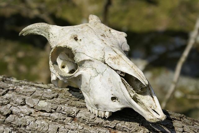 Skull, Skeleton, Sheep, Ram, Farm, Animal, Farmyard