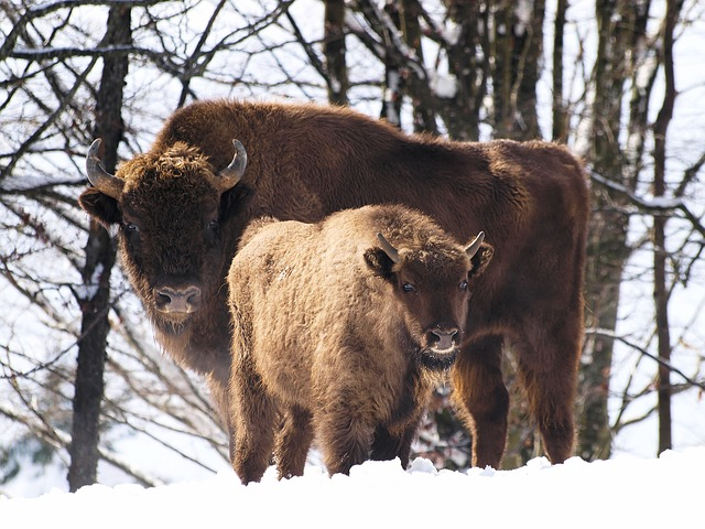 Animals, Bison Europe, Mammal, Animal, Fauna, Bison