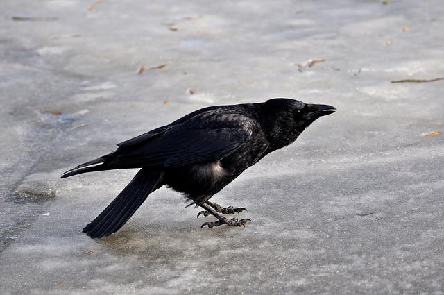 Crow, Animal, Bird, Corvus, Wildlife, Fauna, Standing