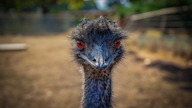 Emu, Bird, Animal, Animal World, Nature, Bill, Feather