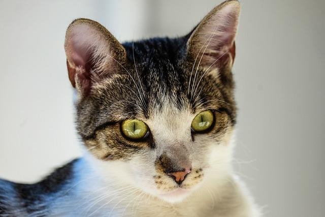 Animal, Cat, Close-up, Feline, Pet, Tabby