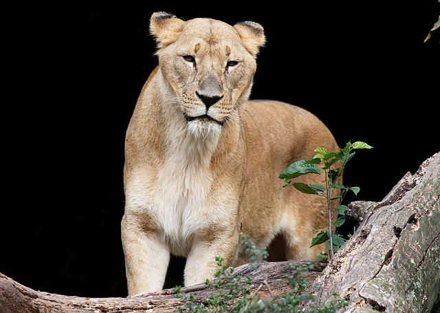 Leone, Female, Animal, Carnivore, Brave, Wild