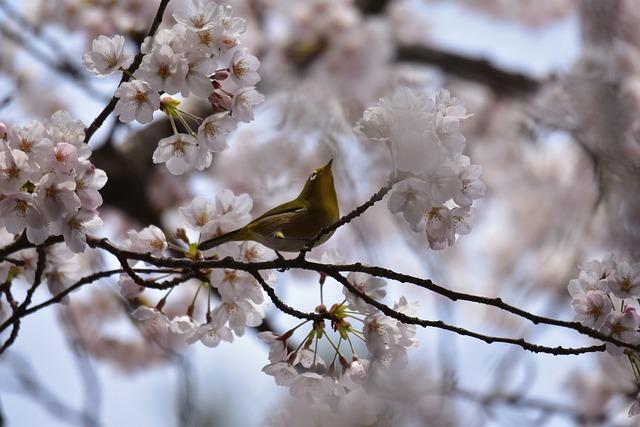 Animal, Plant, Cherry Blossoms, Flowers, Cherry Tree